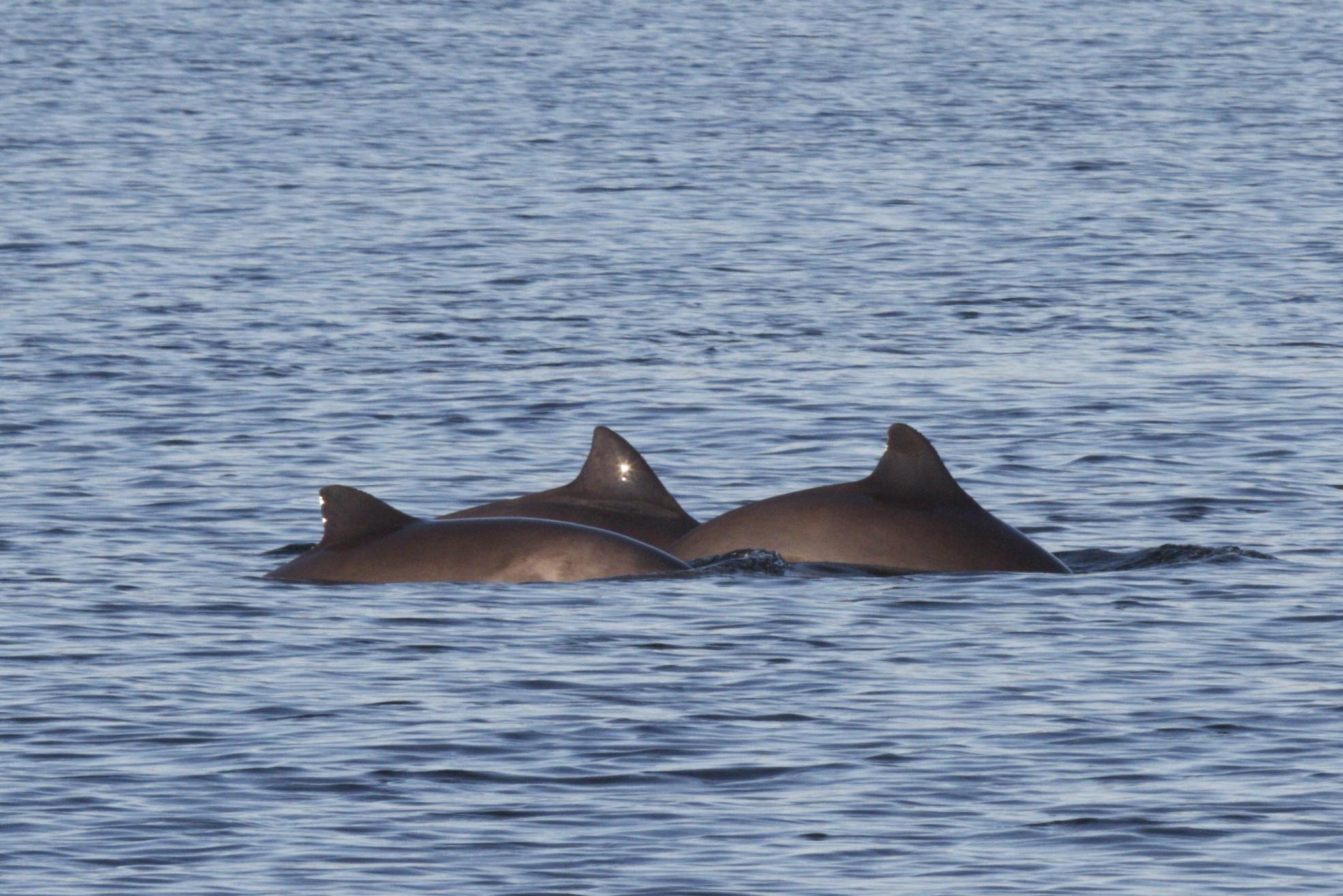 A sense of porpoise | Blue Planet Society