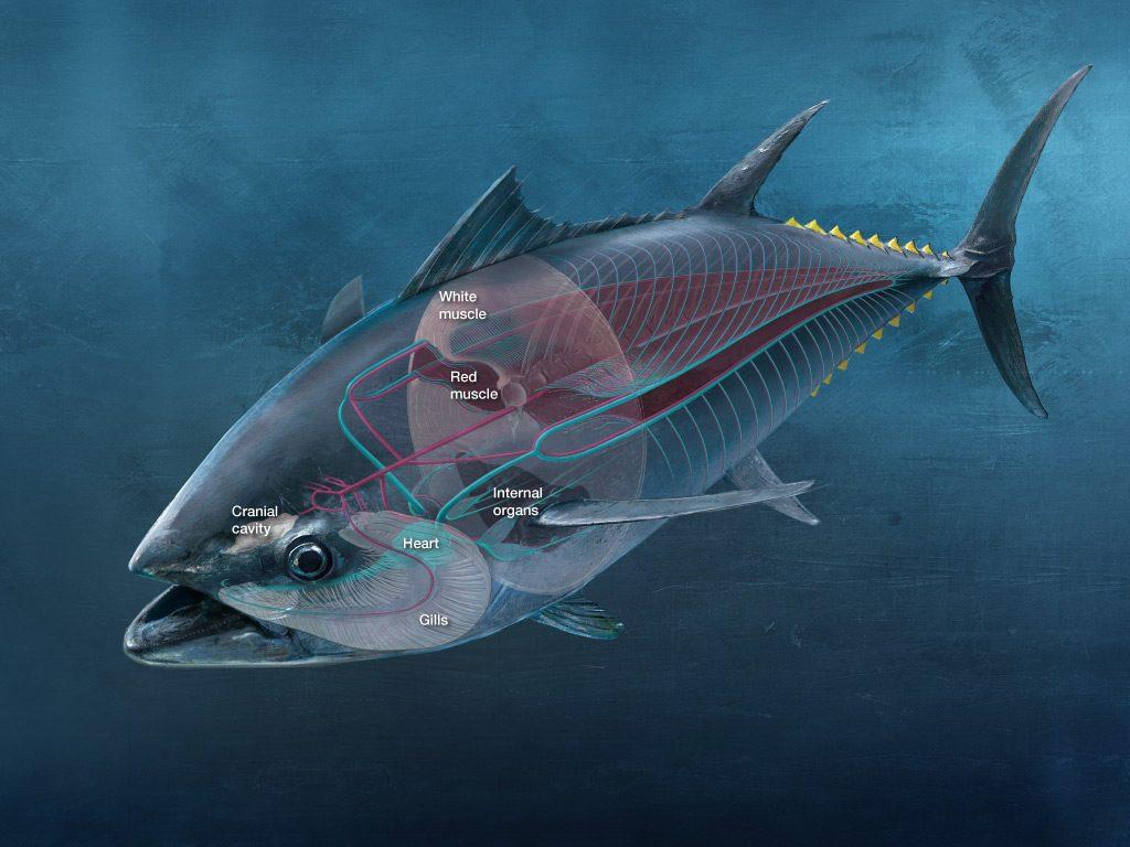atlantic bluefin tuna size